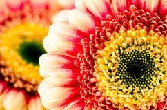 Красные цветки gerber Стоковые Изображения