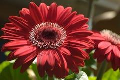 Красный Gerbera Стоковые Изображения RF