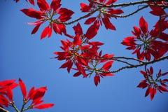 Красные цветки plumeria Стоковые Изображения