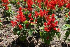 Красные цветки splendens Salvia весной стоковая фотография