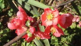 Красные цветок и бутон стоковое изображение