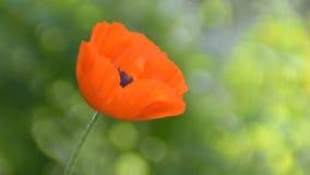 Красные цветок и ветер мака сток-видео