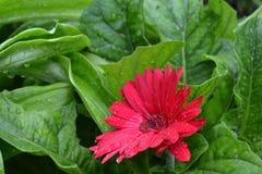 Красные цветок и роса Стоковые Изображения