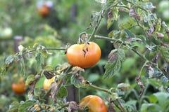 Красные цветы томата стоковые фото
