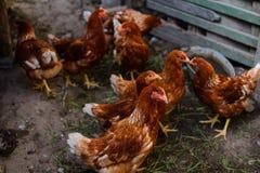 Красные цыплята в дворе Стоковые Фото