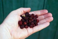 Красные черные ежевики ягод на открытой ладони на зеленой предпосылке Стоковые Фото