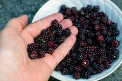 Красные черные ежевики ягод на открытой ладони над плитой Стоковое фото RF