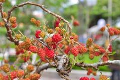 Красные шелковицы на дереве Стоковые Изображения