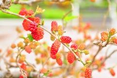 Красные шелковицы на дереве Стоковые Фотографии RF