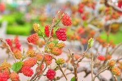 Красные шелковицы на дереве Стоковые Изображения RF