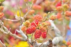 Красные шелковицы на дереве Стоковое фото RF