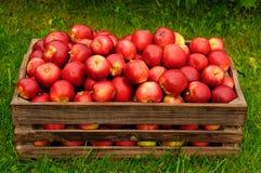 Красные яблоки в коробке стоковые фотографии rf