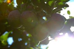 Красные яблоки на дереве Стоковые Изображения RF