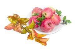 Красные яблоки с ветвью ежевики и яблони Стоковое фото RF