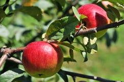 Красные яблоки Стоковые Фото