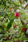Красные яблоки вися на ветви Стоковое Изображение
