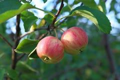 Красные яблоки в саде Стоковые Изображения RF