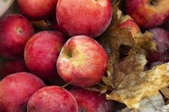 Красные яблоки и follen листья Стоковая Фотография RF