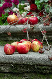 Красные яблоки и rowanberry Стоковое Фото