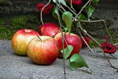Красные яблоки и rowanberry Стоковое фото RF