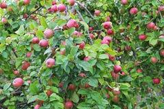 Красные яблоки на ветви Предыдущий сбор осени Стоковые Изображения RF