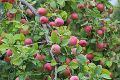 Красные яблоки на ветви Предыдущий сбор осени Стоковые Фото