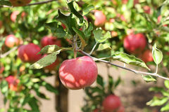 Красные яблоки на ветви яблони с зелеными листьями Стоковые Фото
