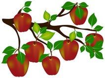 Красные яблоки на ветви Стоковая Фотография RF