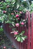 Красные яблоки на дереве Стоковое фото RF