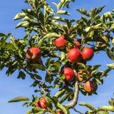 Красные яблоки растут на ветви против голубого неба Стоковое фото RF