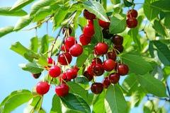 Красные ягоды вида вишни на дереве Группа ягод вишни Стоковые Изображения
