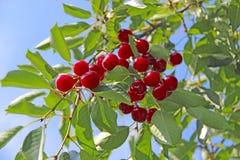 Красные ягоды вишни висят на дереве в солнечных лучах Загораться лучей вишни стоковые изображения