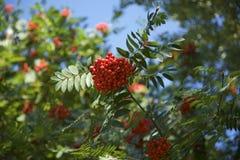 Красные ягоды дерева рябины Стоковая Фотография