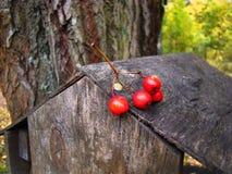 Красные ягоды золы горы на предпосылке древесины Стоковые Изображения