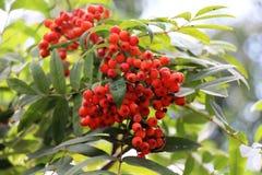 Красные ягоды золы горы с зеленым цветом выходят/ стоковое фото
