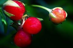 Красные ягоды каменного ежевичника стоковое изображение rf