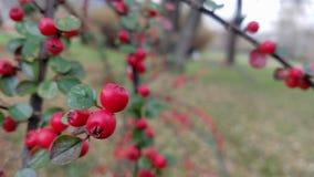 Красные ягоды на ветви куста в осени с запачканной предпосылкой стоковая фотография rf