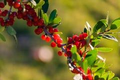 Красные ягоды на ветви с зелеными листьями Стоковое Изображение