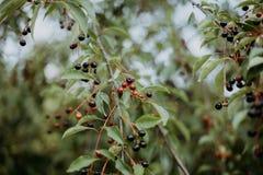 Красные ягоды на ветви стоковое фото rf