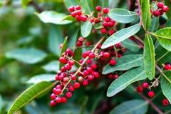 Красные ягоды на ветви стоковая фотография rf