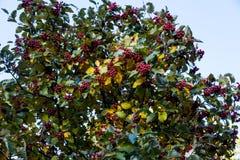 Красные ягоды на дереве стоковое фото rf