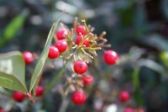 Красные ягоды на зеленом растении стоковые изображения rf