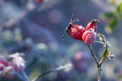 Красные ягоды плода шиповника со снегом Дикий розовый кустарник с елью заморозка стоковые изображения