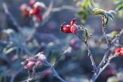 Красные ягоды плода шиповника со снегом Дикий розовый кустарник с елью заморозка стоковое фото