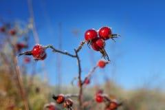 Красные ягоды плода шиповника со снегом Дикий розовый кустарник с заморозком и стоковое изображение