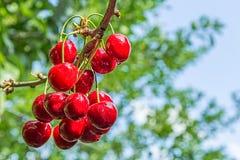 Красные ягоды сладостной вишни на ветви Стоковые Изображения