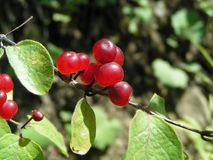 Красные ягоды Стоковое Изображение RF