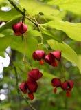Красные ягоды Стоковые Изображения