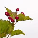 Красные ягоды guelder-Розы Стоковое фото RF