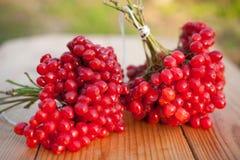 Красные ягоды Viburnum Стоковое Фото
